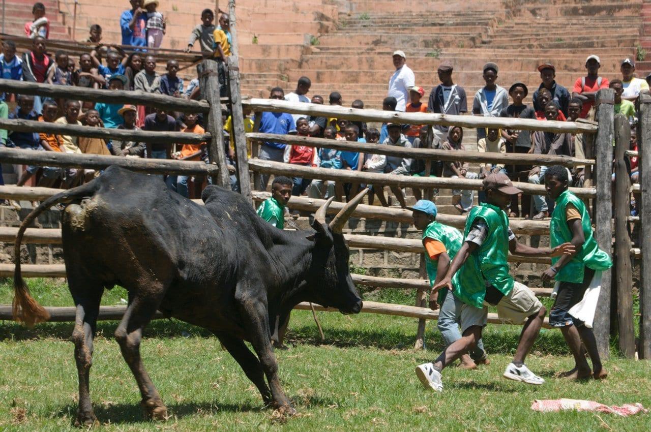 Savika - African Bull riding
