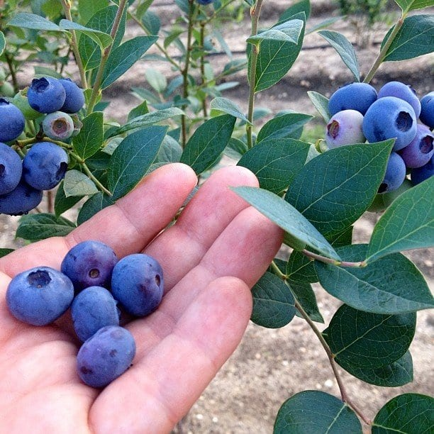 blueberries for Flat belly and weight loss