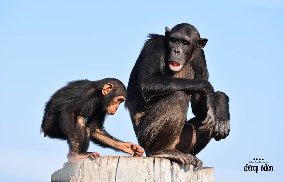 Nelspruit Chimp Eden